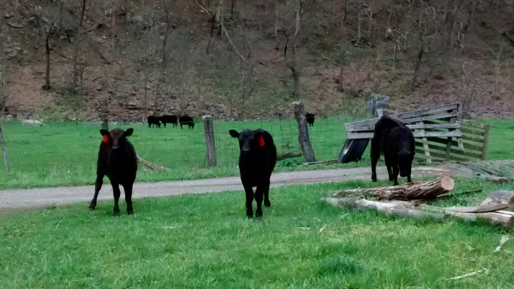 Calves at cattle guard 2